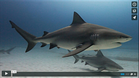 video about diving with bull sharks
